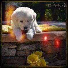 A little curious Golden!  Tooo Cute!  #puppy #puppies