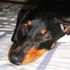 I know I know I made a mess I blew the comb I pecked some papers but you love me ... You love me look at this face! I love you!  Eu sei eu sei eu fiz bagunça  estraguei o pente picotei uns papeis mas você me ama... Você me ama olha só  essa minha carinha! Eu te amo!  #momispissed #mondaymess #puppydog #filhote #dachshund #doxie #teckel #dackel #bassotto #jamnik #takca  #wienerdog #sausegedog #weeniedog #cofap #basset #chiensaucisse #perrosalchicha #instadog #instadachshund #instadoxie…