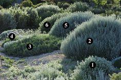 1 : Ballota acetabulosa 2 : Artemisia canariensis 3 : Limoniastrum monopetalum 'Carnaval' 4 : Centaurea bella 5 : Artemisia arborescens 'Carcassone' 6 : Ballota pseudodictamnus