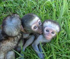 Baby monkeys gallery http://www.lolimals.net/ich-will-ein-affenbaby-kaufen/2089