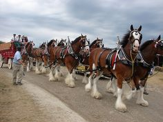 The Budweiser Clydesdales at the Traders Point Hunt Charity Horse Show Clydesdale Horses Budweiser, Pull Wagon, Show Horses, Animals And Pets, Charity, Count, Creatures, Big, Crafts