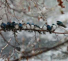 Birds keeping warm on a branch during a snow storm.