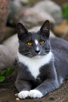 Such A Beautiful Cat! Grey and White Cat. Cats and Kittens > #CatGatos