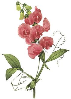 """vintage botanical print, Bright Red Sweet Pea, botanical art print by Pierre Redoute, sometimes known as """"the Rembrandt of roses"""", and the """"Raphael of flowers"""". Court artist to Marie Antoinette. Vintage Botanical Prints, Botanical Drawings, Vintage Flower Prints, Vintage Art, Botanical Flowers, Botanical Art, Art Floral, Floral Prints, Pink Perennials"""