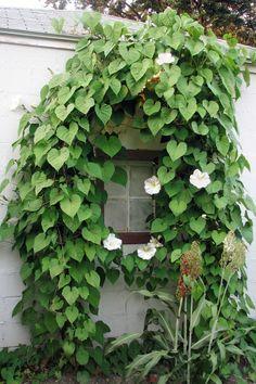 fast growing flowering vine moonflower
