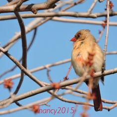 Out for walk..... Female Cardinal