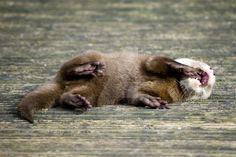 Laughing otter.