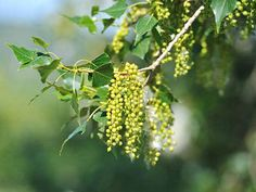 Discover the rare black poplar tree. Find out where to see it, how it supports wildlife and how it is used. Poplar Tree, Photo P, Deciduous Trees, Growing Tree, Old Ones, Botany, Garden Plants, Planting Flowers, Woodland