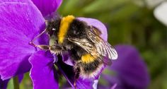 Almost 80% of crop pollination by wild bees is provided by just 2% of the most common species, say scientists. In the UK, a small number of bees are vital for crops such as oilseed rape, apples and strawberries, according to the University of Reading team.
