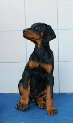 Black Doberman puppy... BIG feet !
