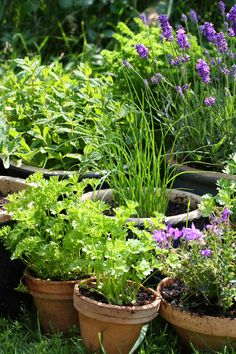There are so many different things to consider when growing herbs at home. Here's how to grow your garden. Herb Garden, Vegetable Garden, Garden Plants, Home And Garden, Types Of Herbs, Types Of Plants, Growing Herbs At Home, Herbs Indoors, Growing Seeds