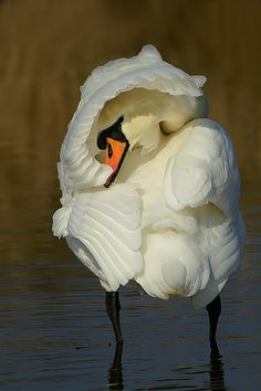 Mute swan preening his feathers