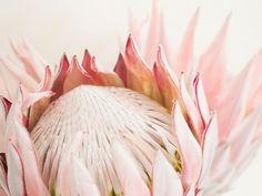 King Protea flower Photography No.119, Fine art photograph, Romantic photography, Soft petals, subtle pink tones