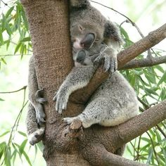 seventh heaven :- - Koala Funny - seventh heaven :- Koala Funny Funny Koala meme seventh heaven :- The post seventh heaven :- appeared first on Gag Dad. The post seventh heaven :- appeared first on Gag Dad. Funny Koala, Cute Funny Animals, Cute Baby Animals, Animals And Pets, Wild Animals, Cute Creatures, Beautiful Creatures, Animals Beautiful, Mundo Animal
