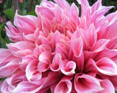 dahlia Maki - AA  Crazy huge dahlia variety.  12-14 inch flowers.  Bigger than the big ones.