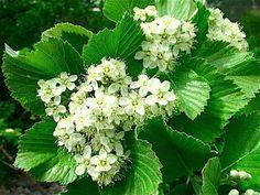 Fiori di viburnum lantana