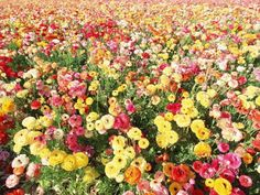 # Ranunkulyus Flowers Colorful Hd Flowers, Ranunculus Flowers, Blooming Flowers, Beautiful Flowers, Wedding Flowers, Colorful Wallpaper, Wallpaper Backgrounds, Daisy, Dream Wedding
