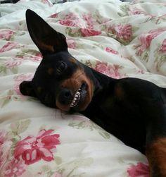 Alfalfa the smiling Min Pin