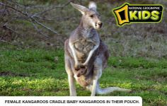 Kangaroo unit for study of Australia