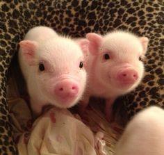 Cute pink piglets