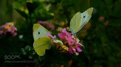 two butterfly  by love365lsc