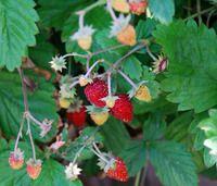 Fragaria vesca - Ali Baba Alpine Strawberry