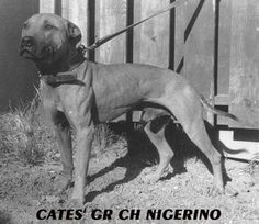 Cates' Nigerino