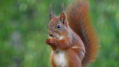 Så enkelt kan du få ekorn i hagen – NRK Østfold – Lokale nyheter, TV og radio Kangaroo, Animals, Construction, Nature, Baby Bjorn, Building, Animales, Animaux, Animal Memes