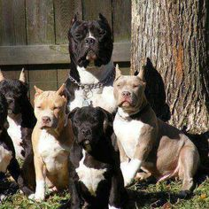Big happy family of Pitbulls