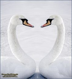 Even in the extreme cold of Michigan -20F the Mute Swans are too busy melting hearts to mind the bitter cold on the ice near Algonac Michigan. #michigan,#algonac,#swan,#hearts,#melting
