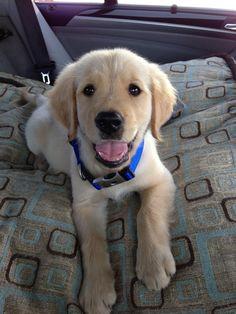 Golden puppy going on an adventure!