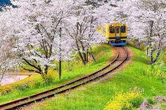 いすみ鉄道(千葉県いすみ市・大多喜町)沿線は菜の花で知られ、写真の撮影地としても有名。名物の「ムーミン列車」も黄色に塗装され、菜の花とマッチしています。毎年3月から楽しめますが、桜が咲く4月に入ってから、花見を兼ねて行くのが断然おすすめ。見頃には、桜と菜の花と列車のコラボが絶景です。房総の春を代表する景観、いすみ鉄道「ムーミン列車」と桜並木を紹介します!