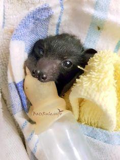 Rescue Megabat black baby male lost mum dog attack