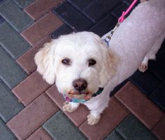 Chloe is an adoptable Poodle Dog in Newport Beach, CA. Chloe is a real cutie pie. She's such a pretty girl that loves attention. She'll stand on her hind legs in typical poodle fashion. Very charming....