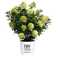 Proven Winners Limelight Hardy Hydrangea (Paniculata) Live Shrub, Green to Pink Flowers, 3 gallon * Check this awesome product by going to the link at the image. Hydrangea Paniculata, Hydrangea Shrub, Limelight Hydrangea, Hydrangeas, Hydrangea Tree, Hydrangea Garden, Green Hydrangea, Endless Summer Hydrangea, Summer Flowers