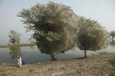 Google Image Result for http://lh3.ggpht.com/__zoKJ77EvEc/TZa1ws4-atI/AAAAAAAAMnU/HaP1CasNajc/tree-cocoons1%255B2%255D.jpg%3Fimgmax%3D800