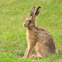 92. Hare   * (gebruikt voor verf maken rechts met bloemen) *