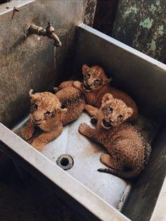 Katzen Katze Haustier süß - dort ze zeleniny a salámů - Cute Puppies, Cute Dogs, Dogs And Puppies, Shitzu Puppies, Husky Puppy, Baby Dogs, Cute Little Animals, Cute Funny Animals, Cute Creatures