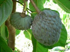 Cherimoya White Tree - Annona cherimoya