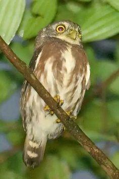 East Brazilian pygmy owl,Glaucidium minutissimum