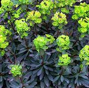 Euphorbia amygdaloides 'Purpurea' (Wood spurge 'Purpurea') Get care advice to your inbox every month - add this plant to your personal list. Herbaceous Border, Herbaceous Perennials, Shade Perennials, Flowers Perennials, Planting Flowers, Garden Mum, Cottage Garden Plants, Euphorbia Plant, Plants For Small Gardens