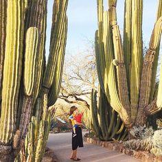 Thought I knew my cacti Totally got schooled at the Desert Botanical Garden in Phoenix . . . #desertbotanicalgarden #cactus #desert #desertlandscape #arizona #exploreaz #see_arizona #oharizona #visitarizona #exploreaz #explorearizona #igsouthwest #ilovearizona #igersaz #arizonalife #arizonahighways #insta_america_arizona #az365 #ig_arizona #igarizona #azlife #arizonasunset #lifeisgoodarizona #myphx #localtourist #hometowntourist #openmyworld #city_explore