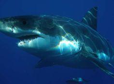 JORNAL CORREIO MS: Predador misterioso engole tubarão branco por inte...