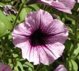 how to cut back petunias