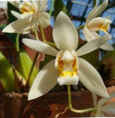 Coelogyne flaccida ~ Orchidee
