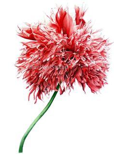 Türkenmohn II  Hampel botanischen drucken von BlueShedStudio