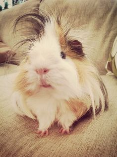 Steve the guinea pig. Dat hair. Lol I have a guinea pig top, and I am currently obsessed with these cute little piggies.