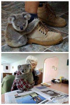 An Orphaned Koala baby