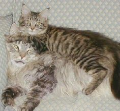 even the biggest maine coon cat can use a friend