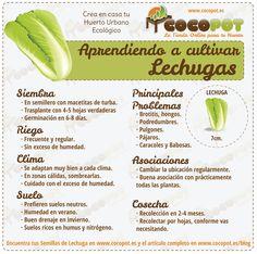 Aprende a cultivar Lechugas en casa o en tu Huerto!
